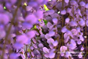 紫藤的介绍
