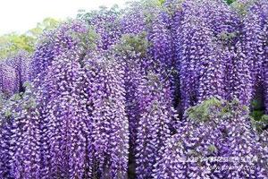 紫藤的形态特征