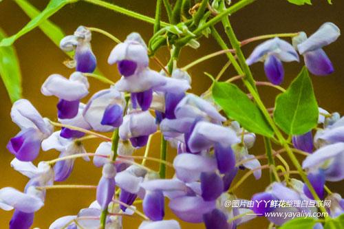 紫藤的生态习性