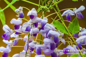 紫藤的分布区域