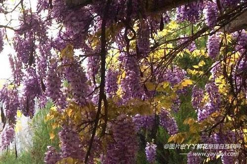 紫藤的繁殖方式