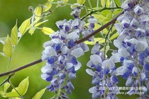 紫藤的病害防治