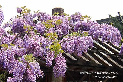 紫藤的园林用途