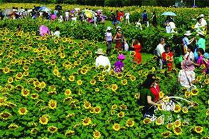 北京最大向日葵景区吸引大量民众