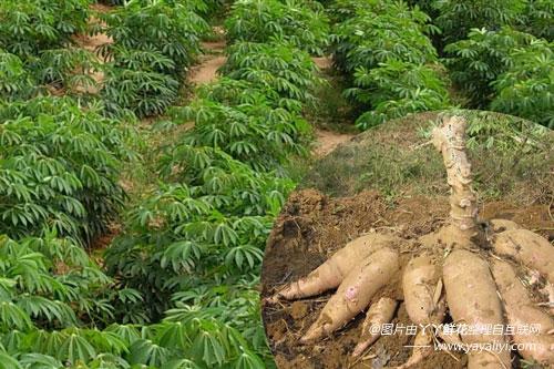 木薯的繁殖方式