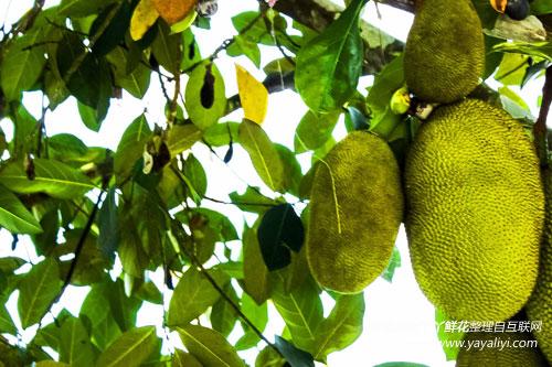 菠萝蜜的生态习性