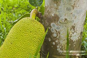 菠萝蜜的栽培技术