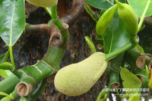 菠萝蜜的养殖方法