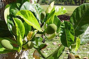 菠萝蜜的繁殖方式
