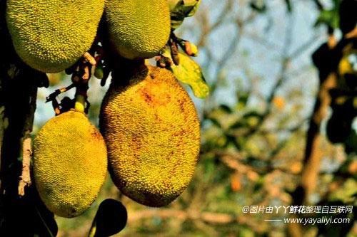 菠萝蜜的病害防治