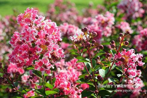矮生紫薇的繁殖培育