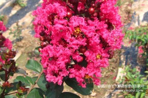 矮生紫薇的园林用途