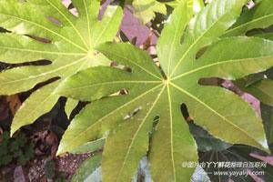 八角金盘叶子产生黄褐色斑点的原因