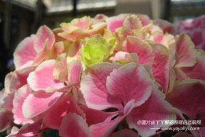 八仙花的介绍