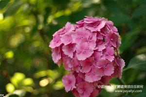 八仙花的形态特征