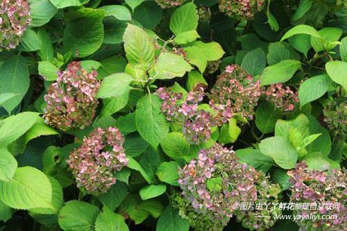 八仙花的生态习性