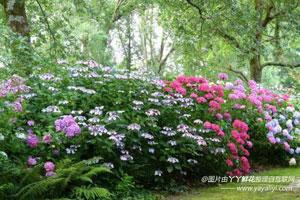 八仙花的繁殖方式