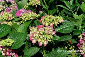 八仙花的病害防治