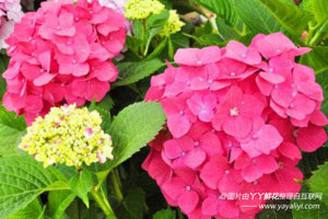 八仙花的分布区域