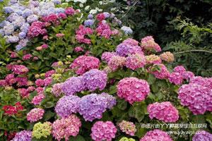八仙花的花语