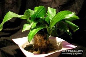 巴西木的栽培技术