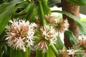 巴西木的花语