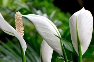 白鹤芋的形态特征