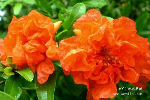 石榴花的国花市花