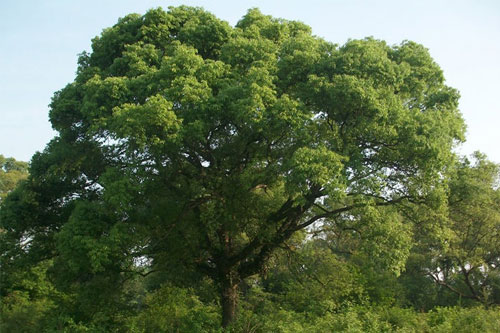 樟树的介绍