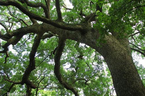 樟树的形态特征