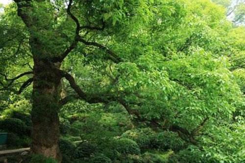 樟树的生长环境