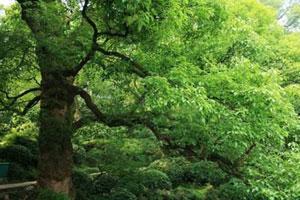 樟树的生长习性