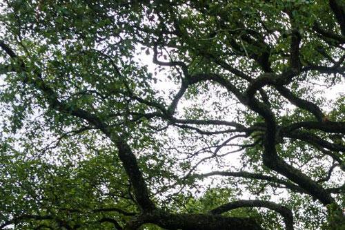 樟树的分布范围