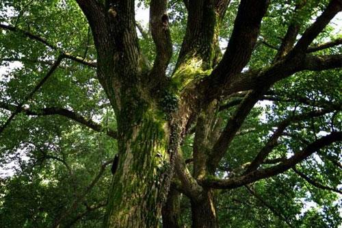 樟树的市树