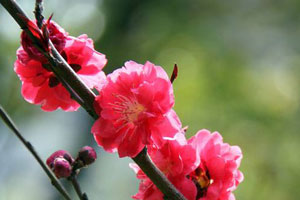 碧桃的栽培技术