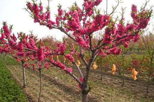 碧桃的繁殖方式