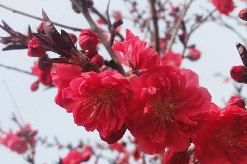碧桃的品种分类