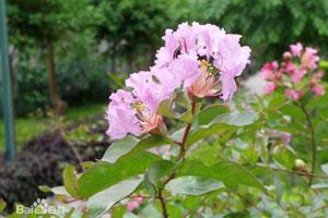 紫薇花的栽培技术