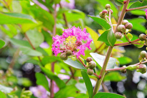 紫薇花的分布区域