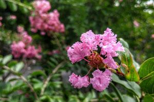 紫薇花的作用用途