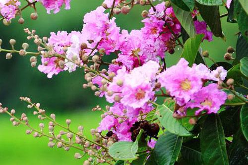 紫薇花的文化背景