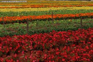 黄岛区市政管理公司全力保障国庆节鲜花生产和摆放工作