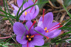 番红花的形态特征