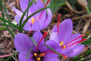 番红花的病虫防治