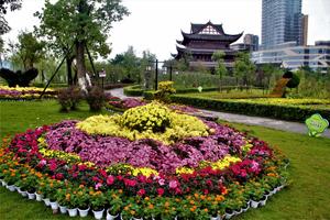 合川5000盆菊花绽放文峰塔公园