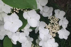 琼花的形态特征