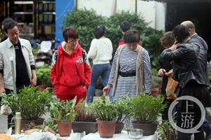 重庆:入秋后花市回温 石斛和多肉类植物走俏