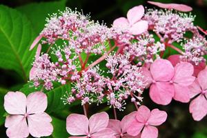 琼花的繁殖方法