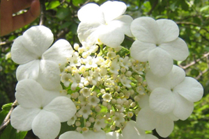 琼花的栽培管理