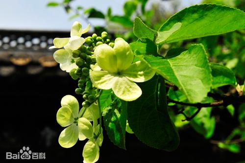琼花的市花